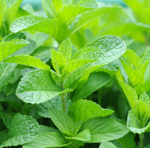 Get Rid of Excessive Facial & Body Hair by Drinking Spearmint Tea